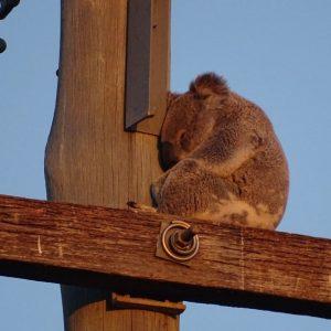 Australie : les koalas doivent vivre à la rue à cause de la déforestation