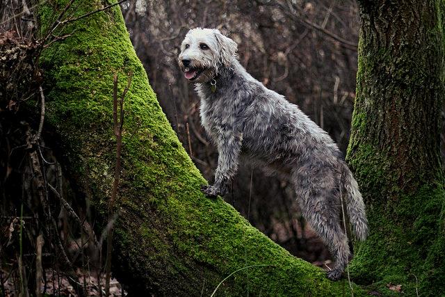 races de chiens qui ne perdent pratiquement par leurs poils