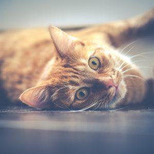 Chat renversé par une voiture : que faire ?
