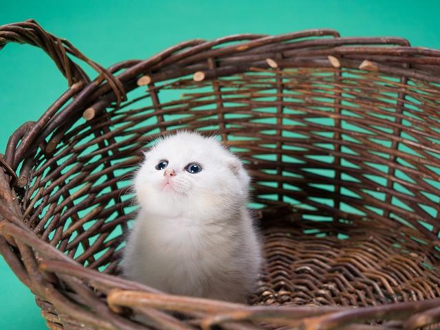 nourriture solide chaton