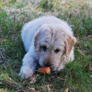 Quels sont les légumes que vous pouvez partager avec votre chien ?
