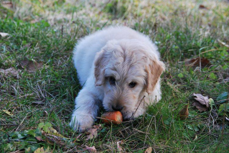 légumes bons pour les chiens