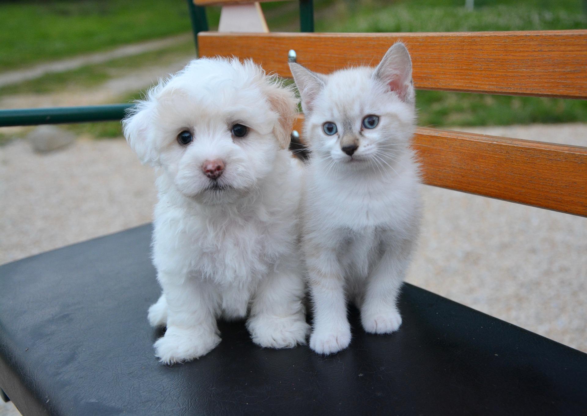 10 races de chiens connues pour s entendre avec les chats - Image de petit chat ...