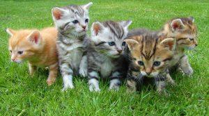 EN IMAGES : les 10 races de chats préférées des Français