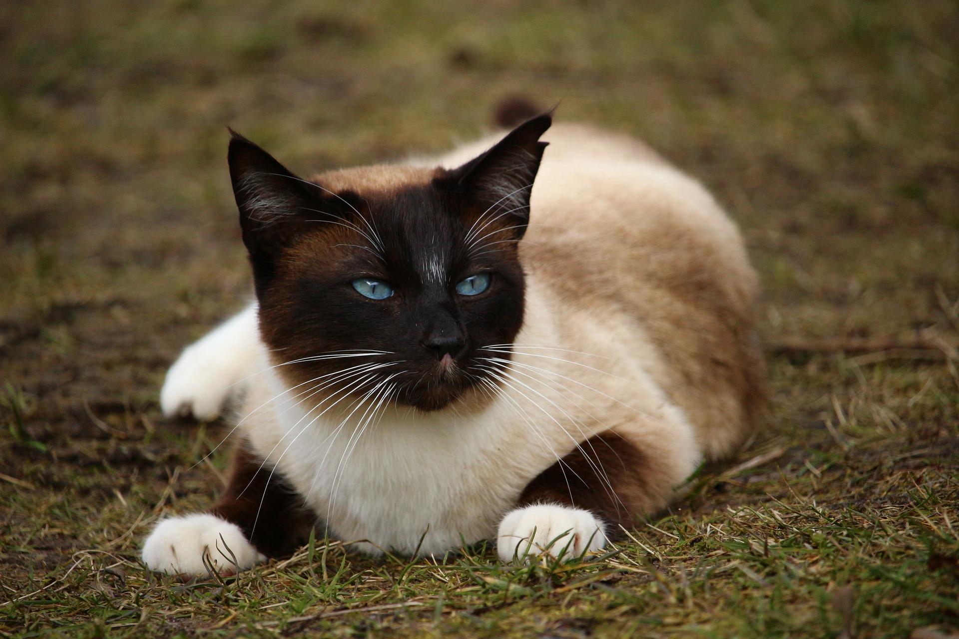 chat hypoallergénique