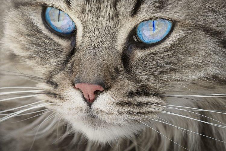 à savoir sur les yeux du chat