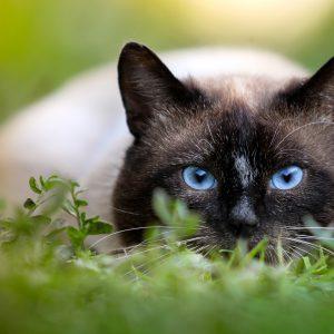 9 races de chats considérées comme étant hypoallergéniques