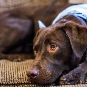 Que faire lorsqu'un chien mange du chocolat?