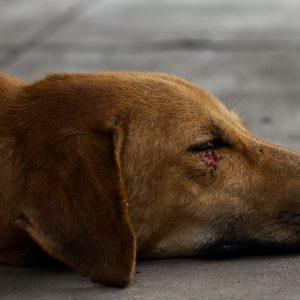 Comment réagir lorsque l'on trouve un animal blessé ?