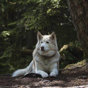 Des huskies abandonnés à cause du phénomène Game of Thrones