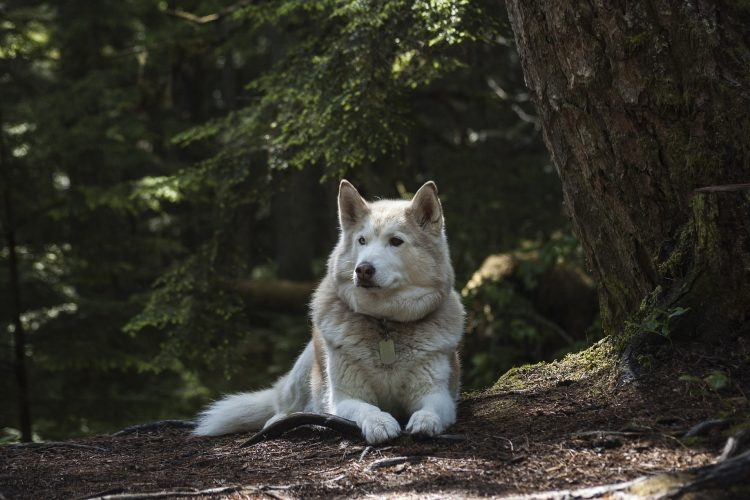 game of thrones abandon husky