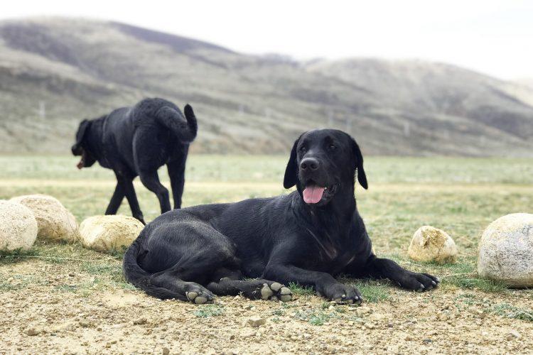 les chiens réputés pour être fugueurs