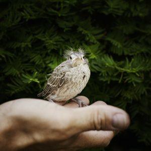 Que faire lorsque l'on trouve un oiseau tombé du nid?