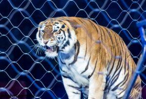 Les animaux sauvages interdits dans les cirques en Irlande et en Italie