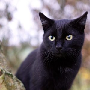 5 raisons d'adopter un chat noir