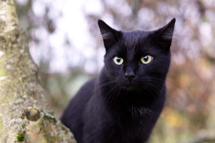 raisons d'adopter un chat noir
