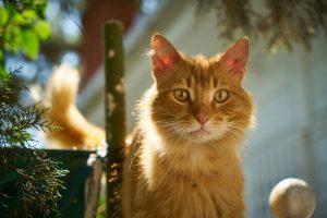 6 choses à savoir sur le FIV, le SIDA du chat