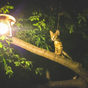 Pourquoi les chats restent-ils coincés dans les arbres?