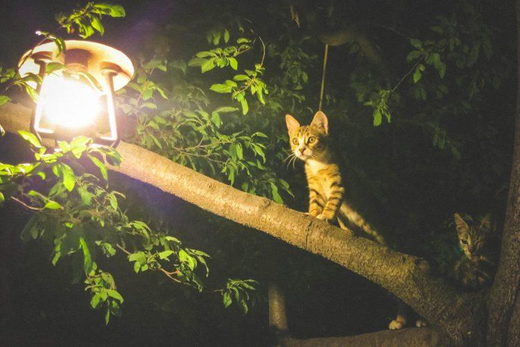 pourquoi les chats restent coincés dans les arbres