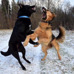 8 conseils pour gérer une bagarre de chiens