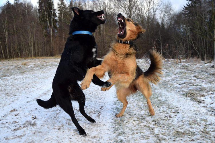 séparer une bagarre de chiens