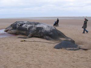 France : l'échouage des mammifères marins est de plus en plus courant