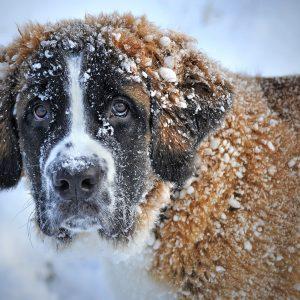 La neige est-elle dangereuse pour nos chiens ?