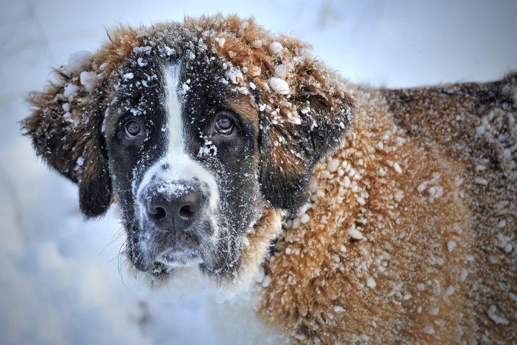 la neige danger pour nos chiens