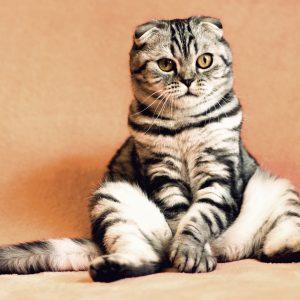 Pourquoi est-il primordial de faire stériliser son chat?