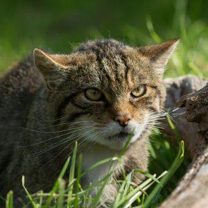 Zoom sur l'étonnant chat sauvage d'Écosse