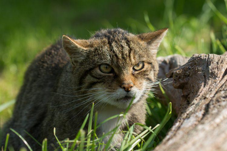 chat sauvage d'écosse