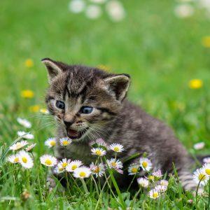 5 choses à savoir sur le miaulement du chat