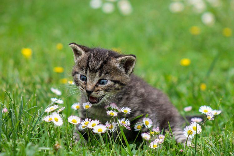 miaulement chez le chat