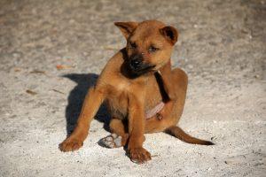 Pourquoi est-il important de traiter nos animaux contre les puces?