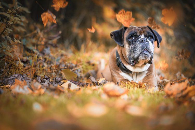 danger automne pour les chiens