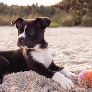 Les coussinets du chien, un organe à protéger absolument en été