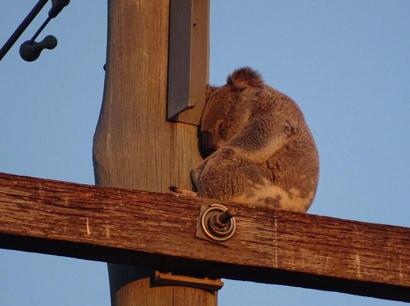 Australie koala dans la rue