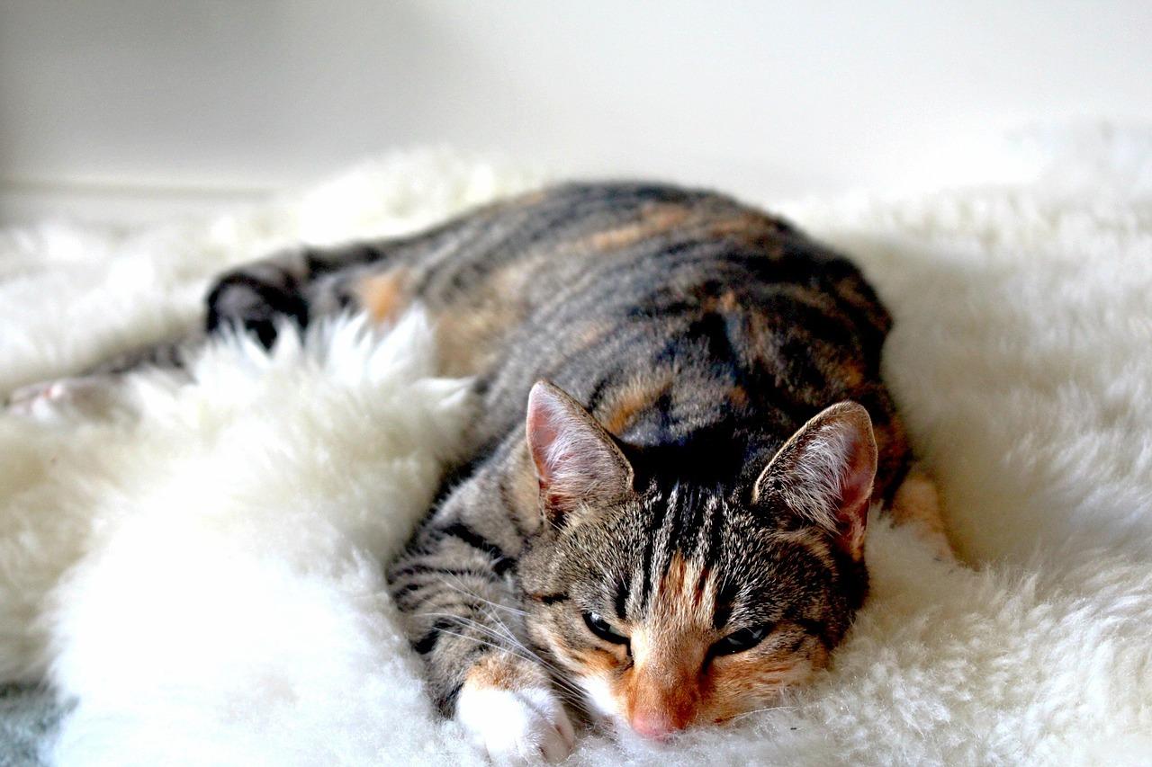 raisons de dormir avec son chat