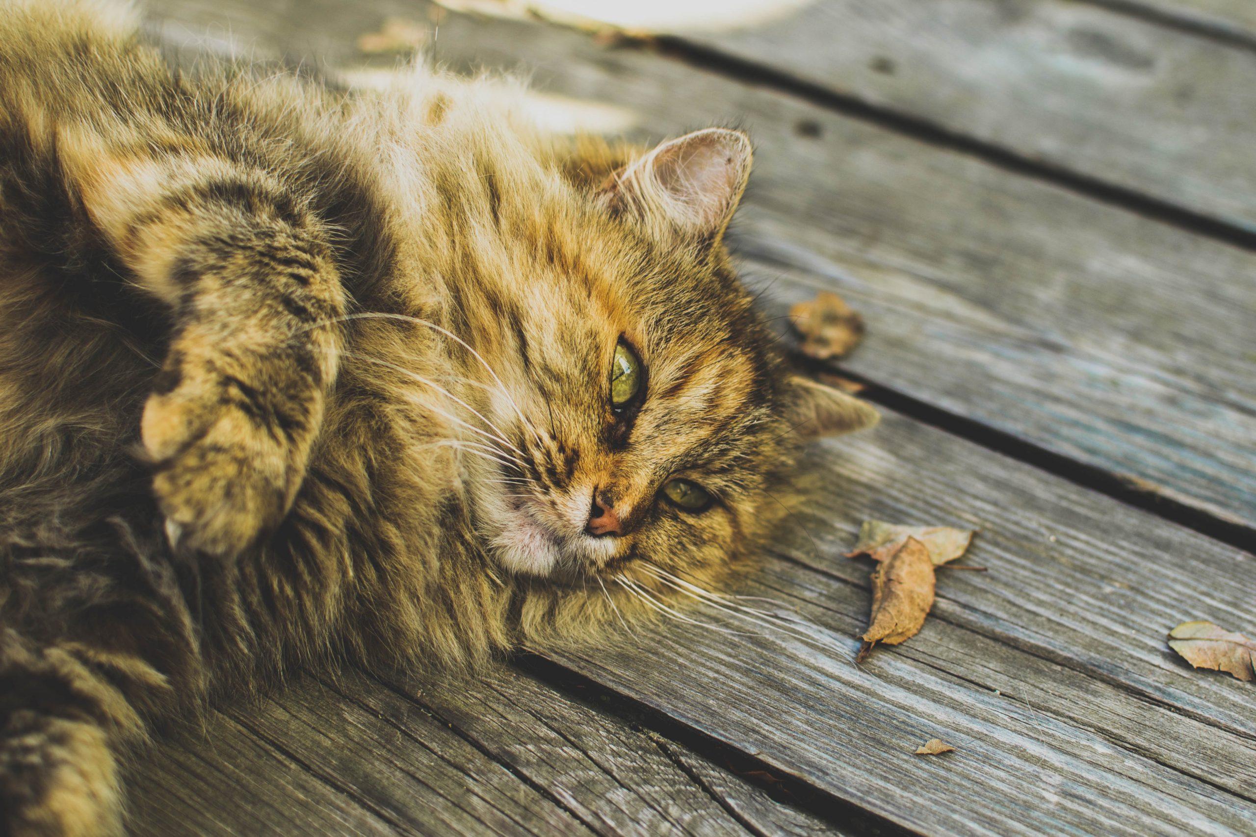 reconnaître les périodes de chaleur chez le chat