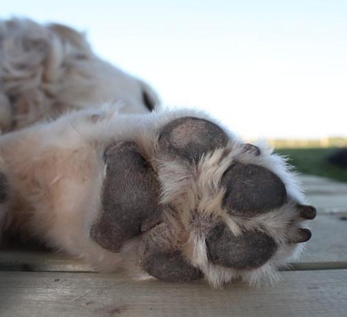 les coussinets sont très importants pour les chiens